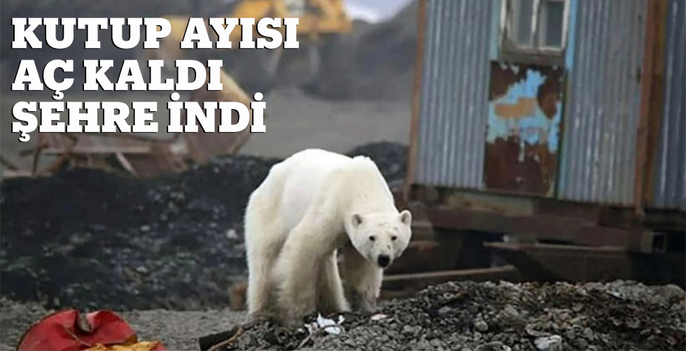Kutup ayısı aç kaldı şehre idoi