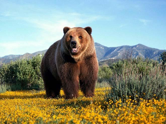 Boz ayılar genellikle Orta Anadolu'da bulunur