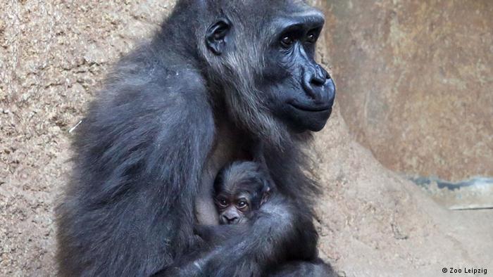 Kumili adlı maymunun annelik sevinci yüzüne yansımış. Kızı Diara ise bu dünyaya henüz pek alışamamış gibi görünüyor.