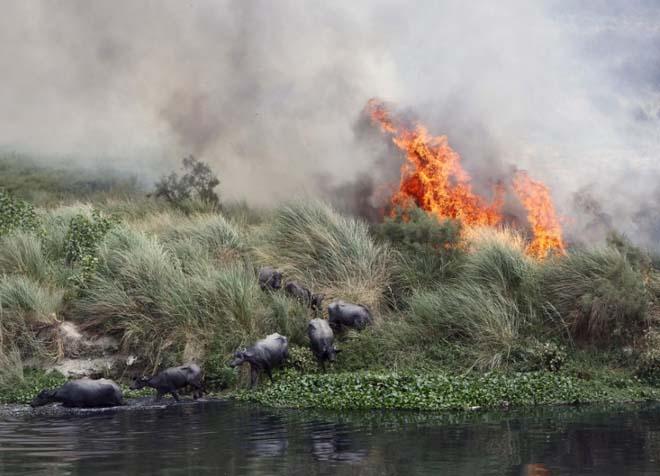 Hindistan'ın başkenti Yeni Delhi'den geçen Yamuna Nehri'nin kıyısındaki fundalıklar yandı ve bütün Buffalolar kenti hücum etti.