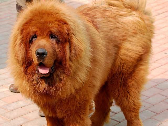 Tibet cinsi köpekler ortalama olarak 90-110 kg ağırlığındadırlar ve 12 ile 16 yıl arasında değişen bir yaşam süresine sahiptirler.